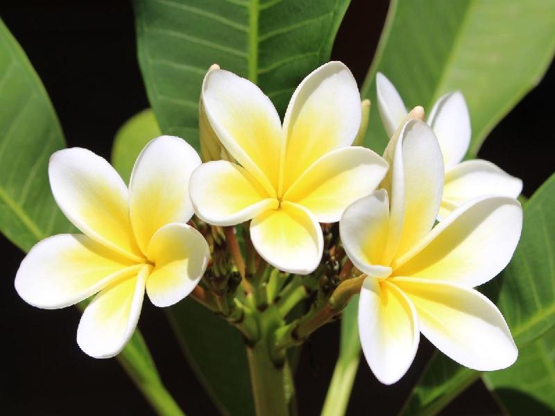 Frangipani Flower (Image Credit - Google)