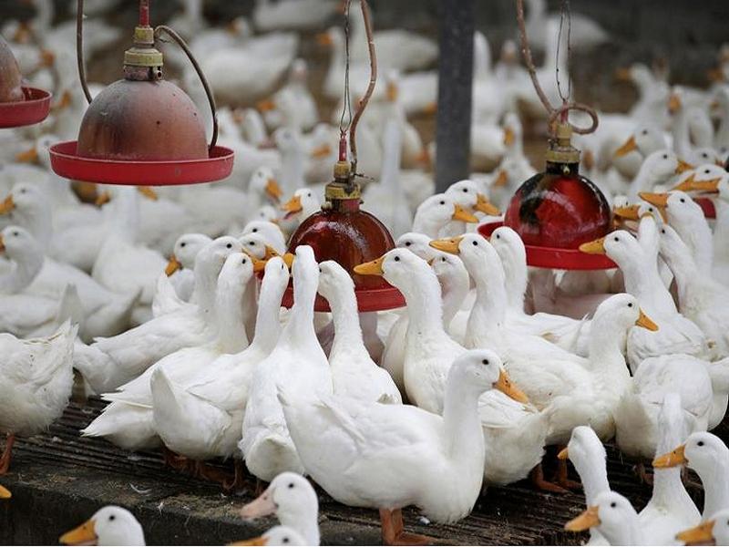 হাঁস পালন গ্রামীণ অর্থনীতিতে বেকার যুবকদের আয়ের মাধ্যম (Poultry Farming - Source Of Income For Unemployed)
