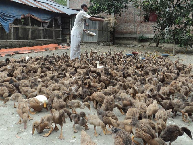 Duck Farming (Image Credit - Google)