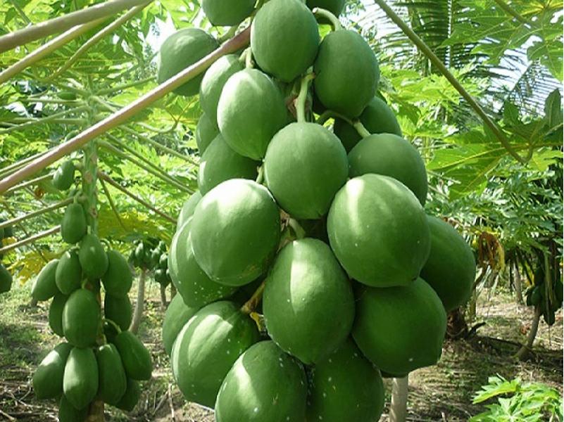 Papaya Cultivation (Image Credit - Google)