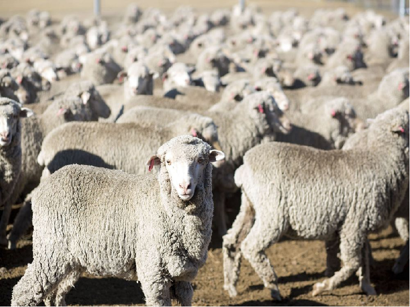 জানুন ভেড়ার কিছু মৌলিক বৈশিষ্ট্য ও খামারে ভেড়ার রোগ সংক্রমণ রোধের উপায় (Sheep Farming)