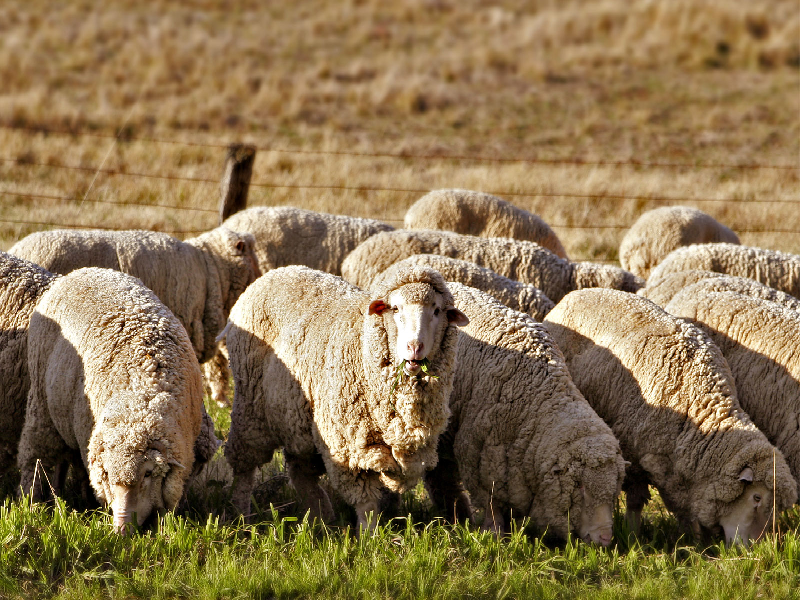 Sheep Farm (Image Credit - Google)