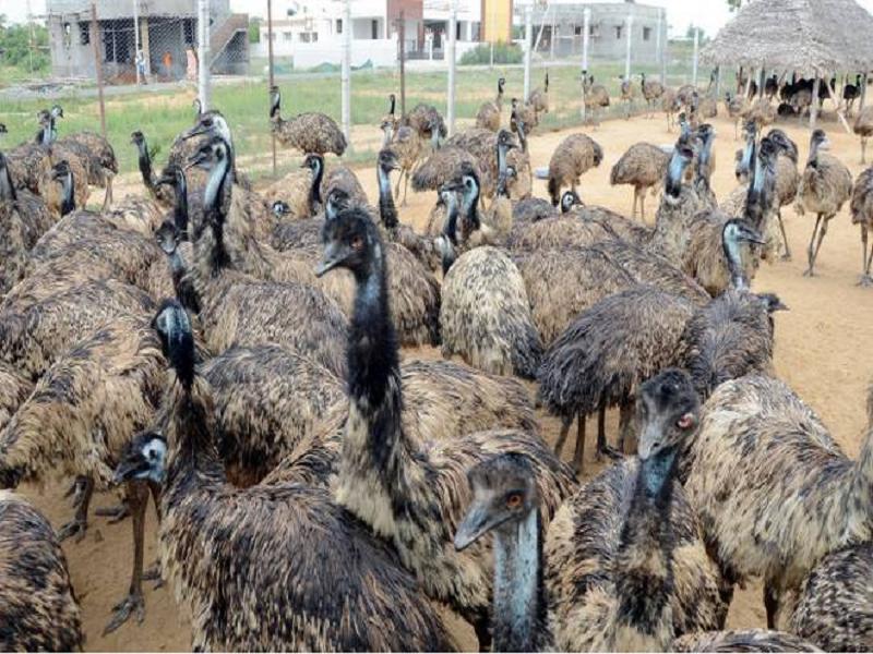 এই পাখি পালন করে আপনি আয় করতে পারেন ৭ লক্ষ পর্যন্ত টাকা (EMU Bird Business)