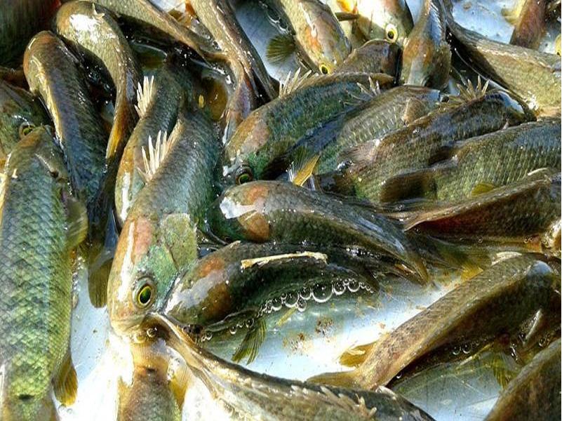 কৃত্রিম উপায়ে কৈ মাছের রেনু উৎপাদনের কৌশল (Artificially Producing Koi Fish Pollen)