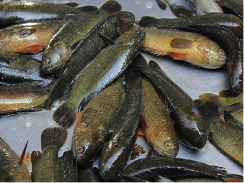 Koi Fish Pollen (Image Credit - Google)
