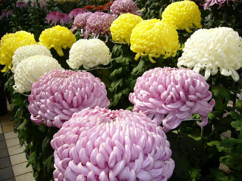 শাখা কলম পদ্ধতিতে চারা তৈরির মাধমে চন্দ্রমল্লিকা ফুলের চাষ (Chrysanthemum Flower)