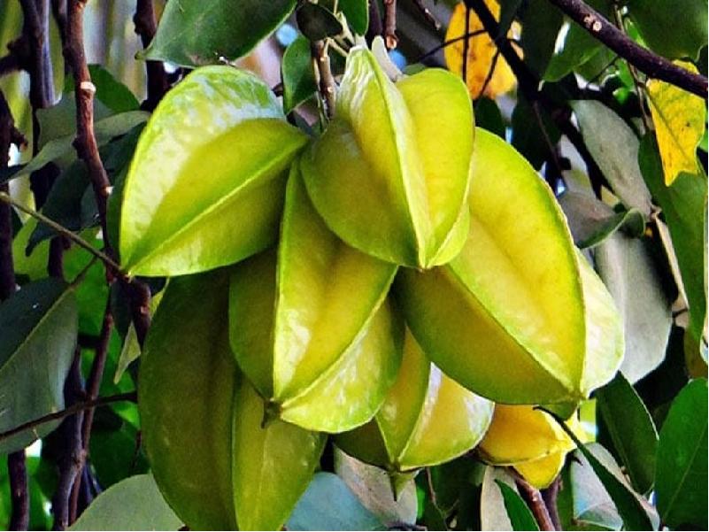 Star Fruit Cultivation (Image Credit - Google)