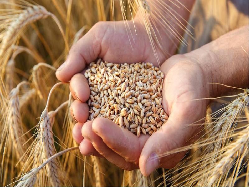 Wheat Crop (Image Credit - Google)
