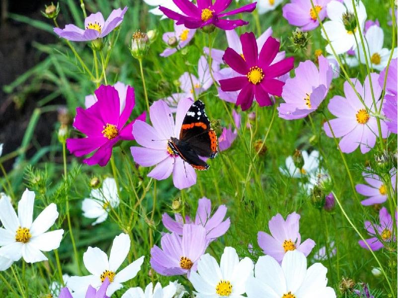 Cosmos flower (Image Credit - Google)