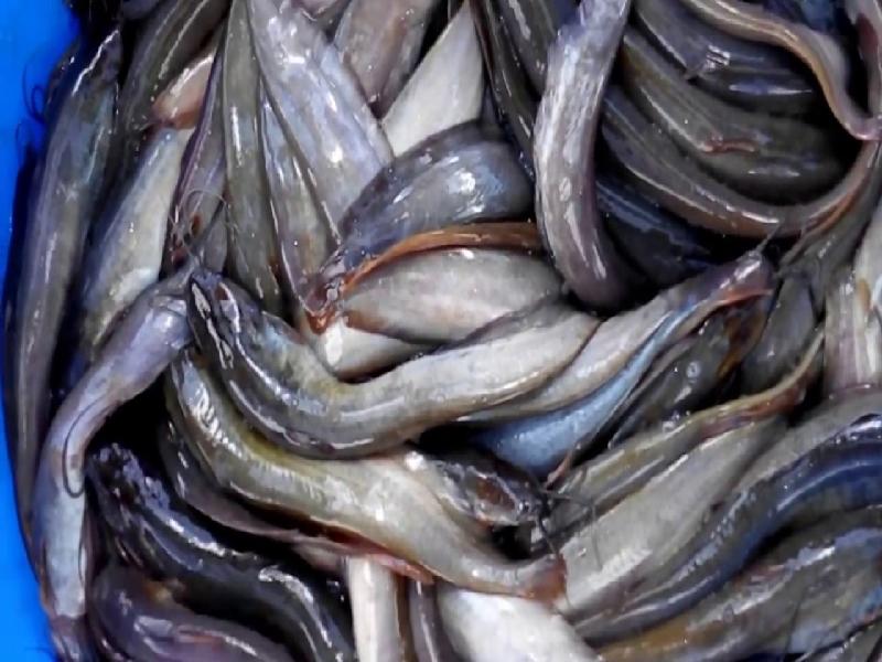 Singi Fish (Image Credit - Google)