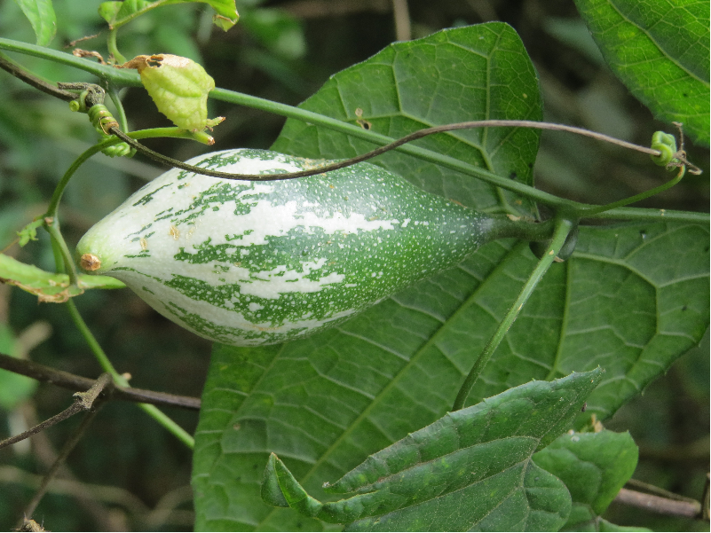 Pointed Gourd (Image Credit - Google)