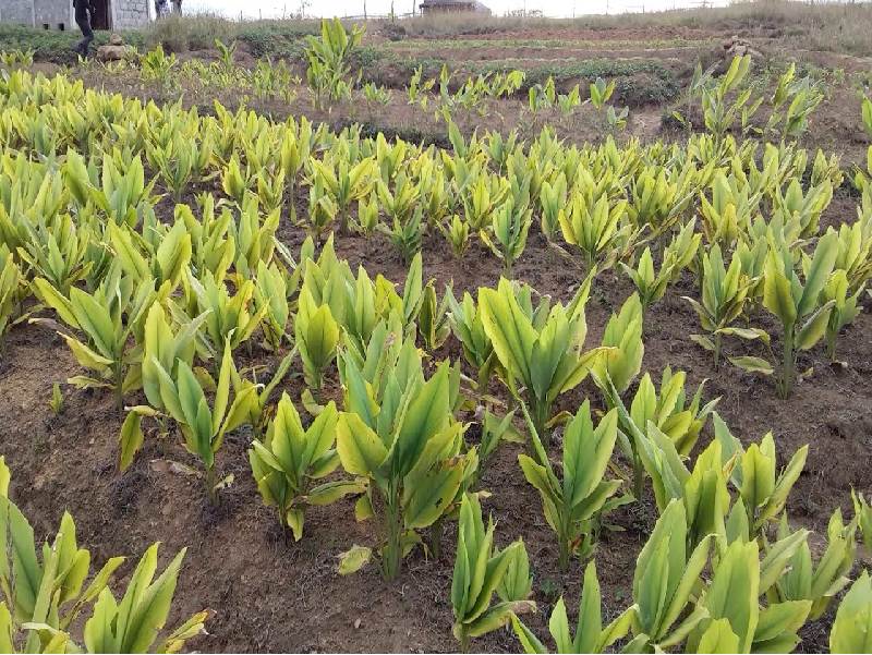 Turmeric Field (Image Credit - Google)