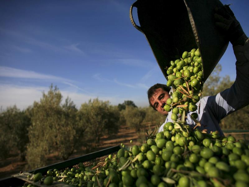 Olive (Image Credit - Google)