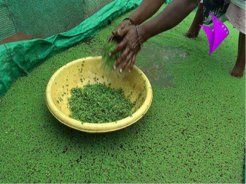 Azolla Farming (Image Credit - Google)