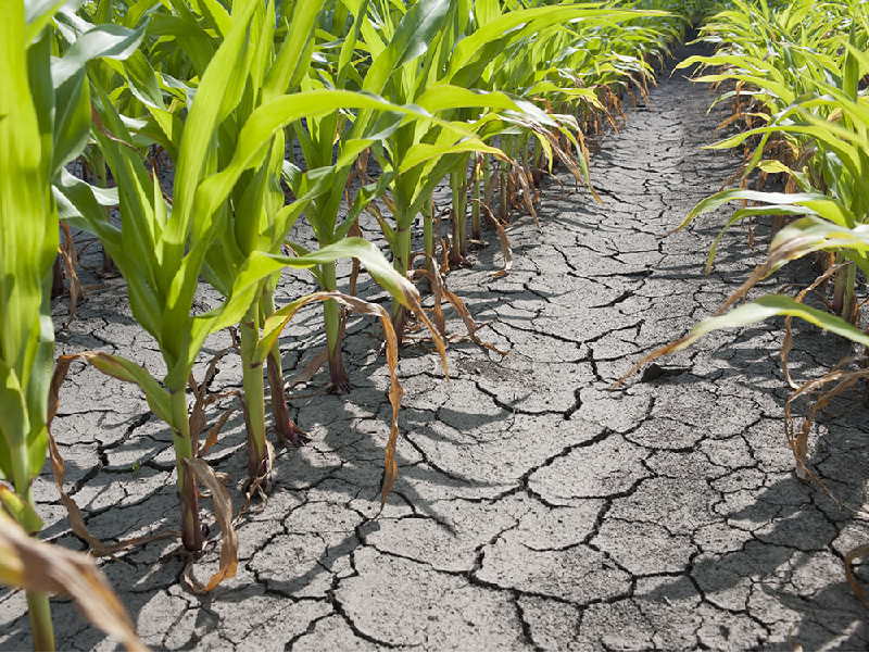 Draught area crop cultivation (Image Credit - Google)