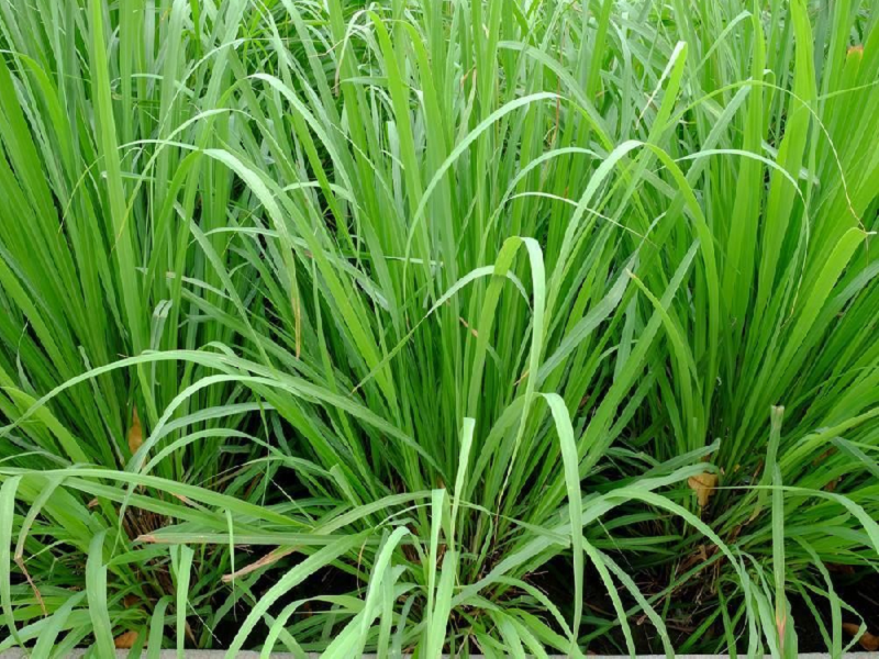 Lemon Grass (Image Credit - Google)