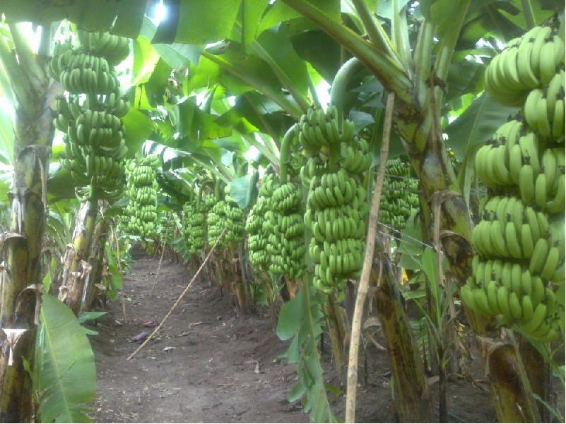 Banana Cultivation (Image Credit - Google)