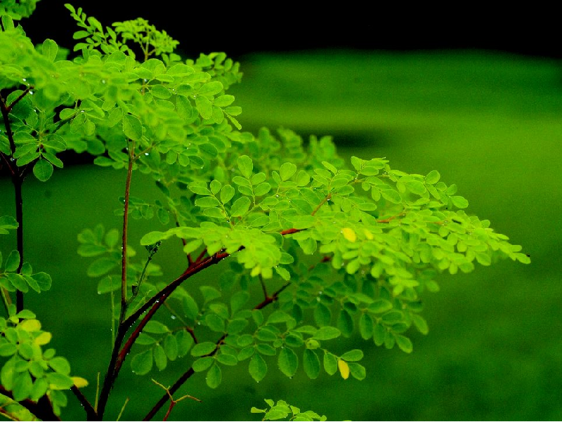Moringa Tree (Image Credit - Google)