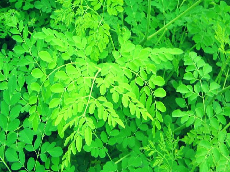 Moringa Plant (Image Credit - Google)