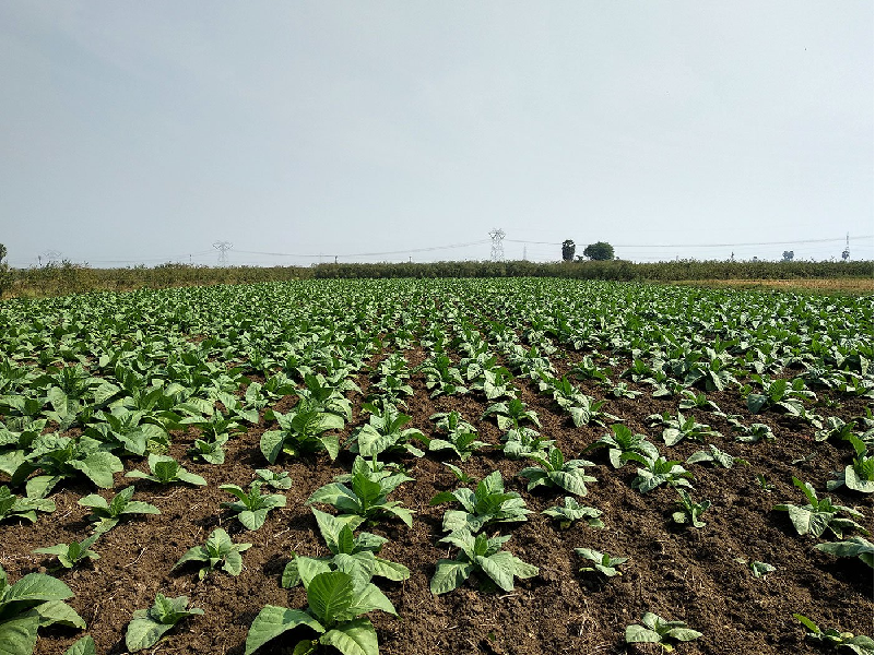 Tobacco Cultivation Field (Image Credit - Google)