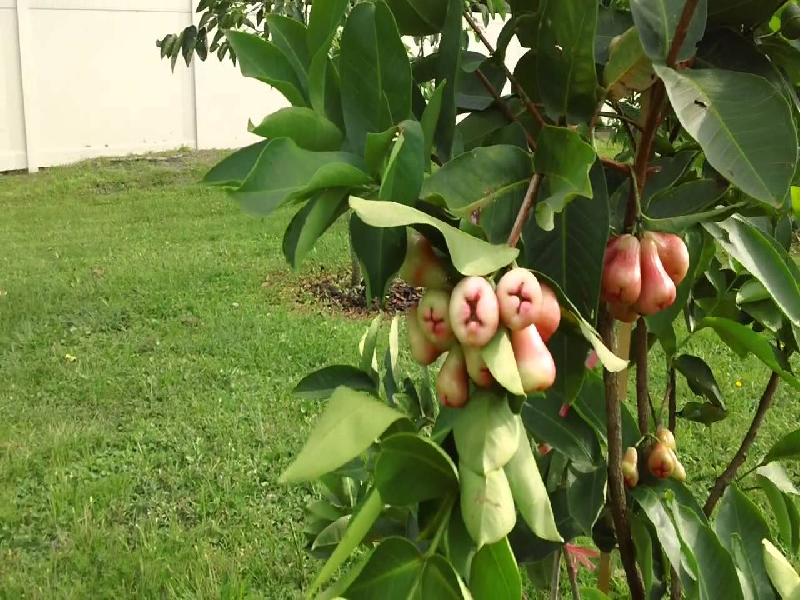 Bell fruit (Image Credit - Google)