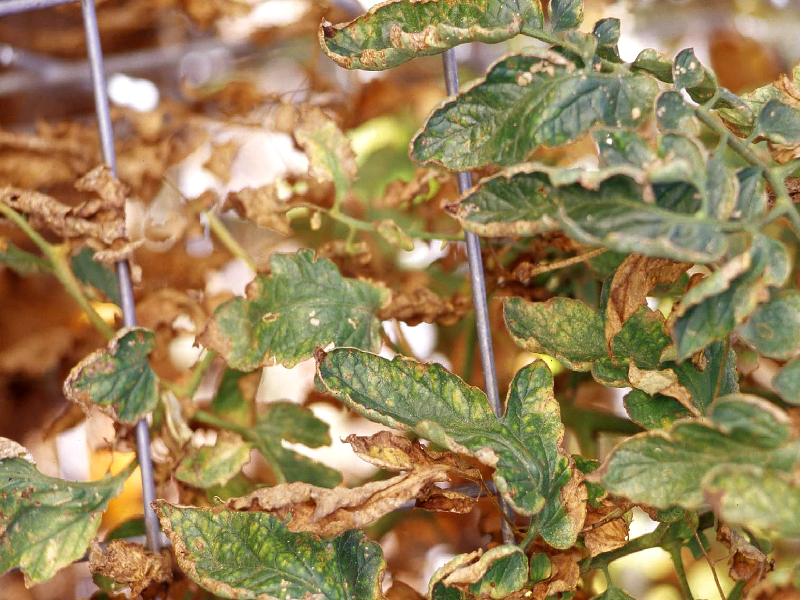 tomato Plant Disease (Image Credit - Google)