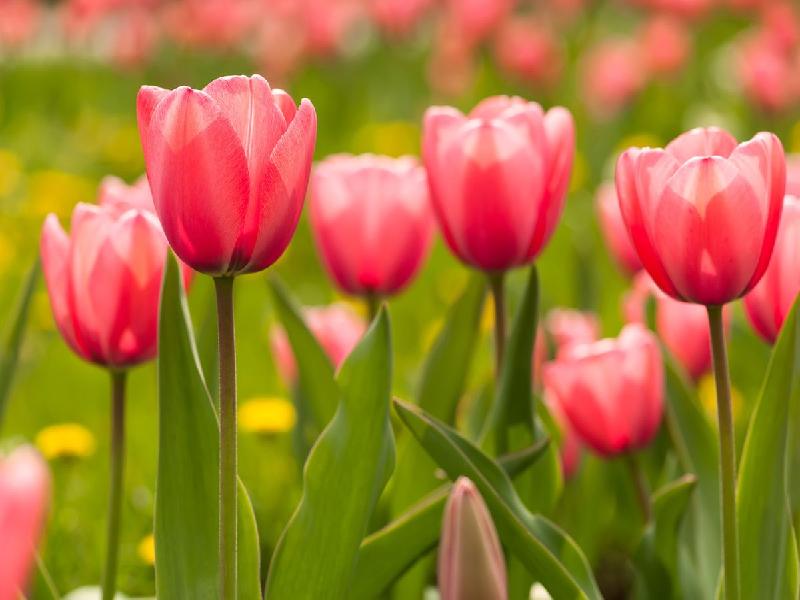 Tulip Flower (Image Credit - Google)