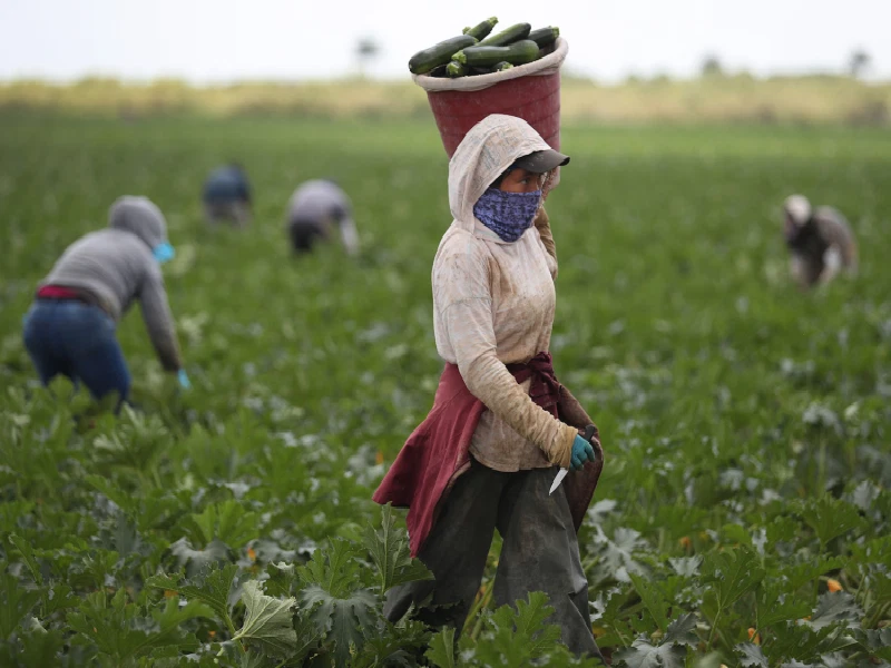 Crop Harvesting Method In Covid Situation (Image Credit - Google)