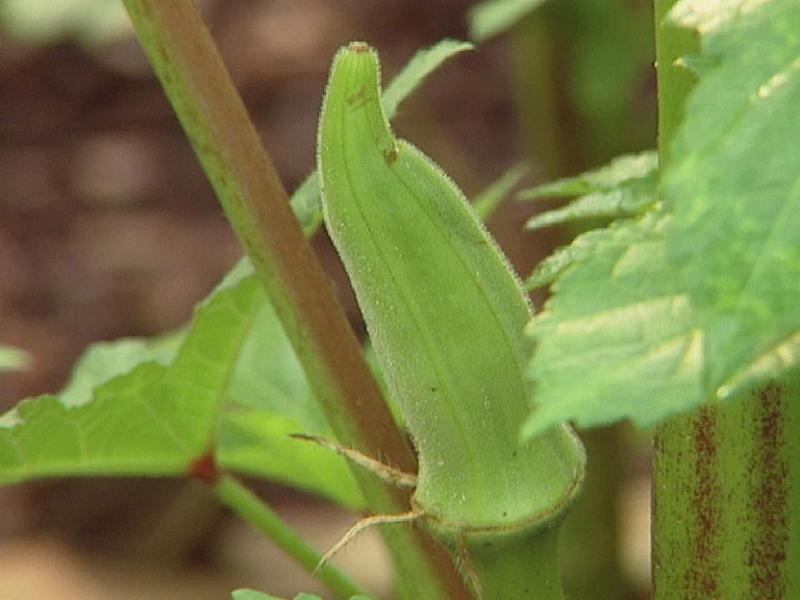 Okra farming (Image Credit - Google)