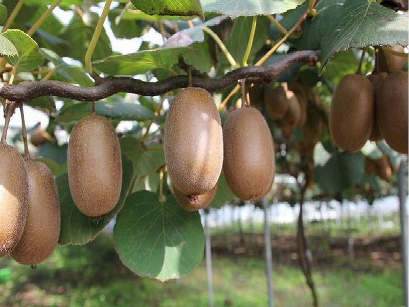 Kiwi tree (Image Credit - Google)