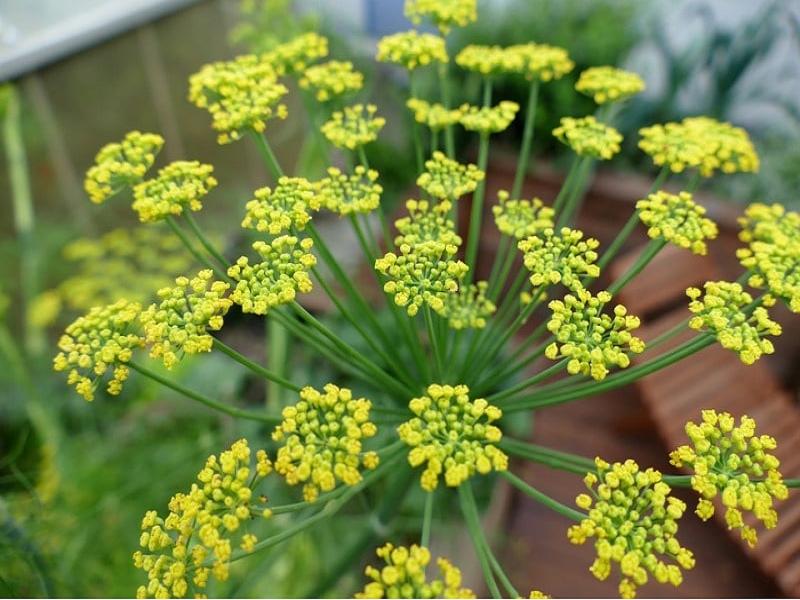 Fennel seed (Image Credit - Google)