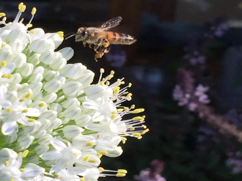 Honey bee (Image Credit - Google)