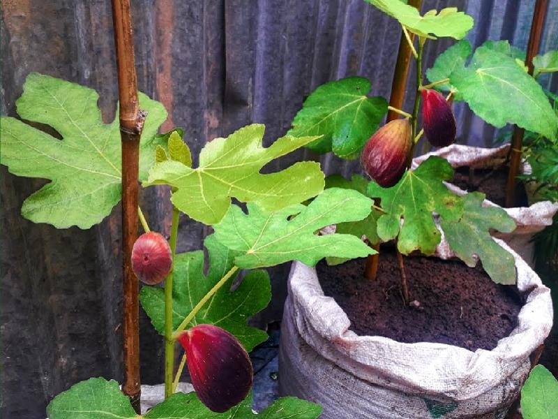 Fig tree (Image Credit - Google)