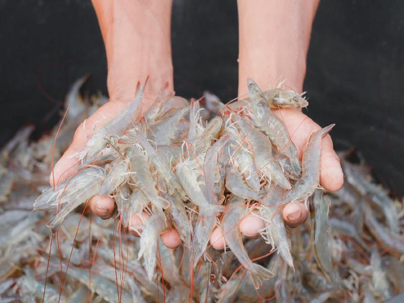 Shrimp (Image Credit - Google)