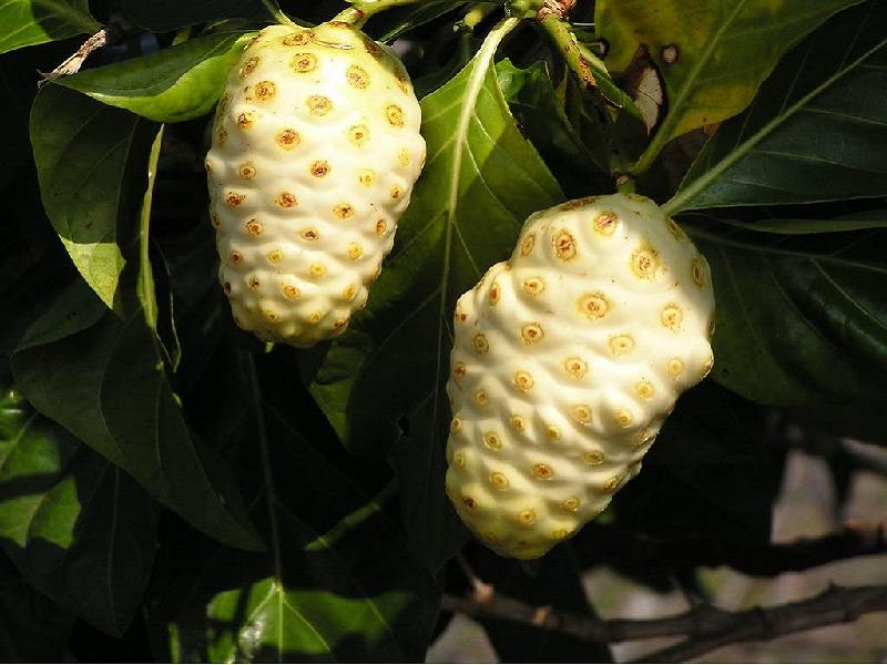 Noni Tree (Image Credit - Google)