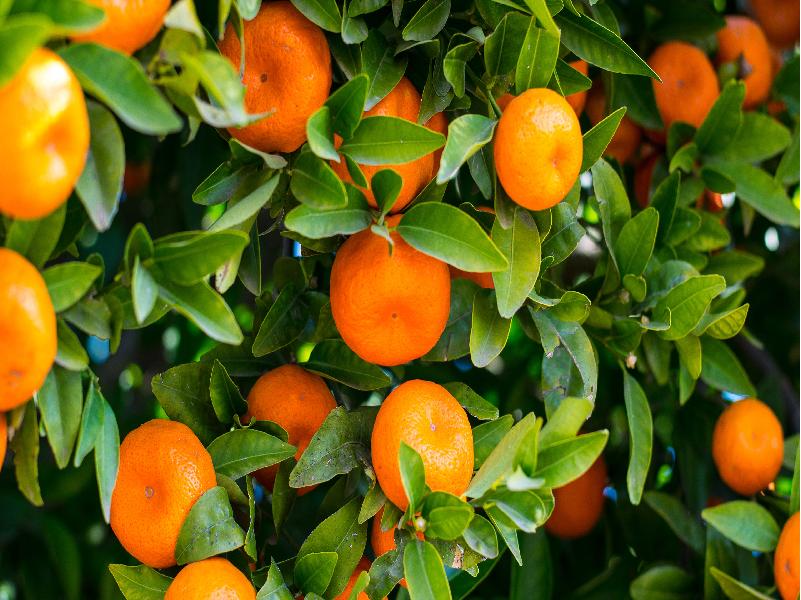 Malta fruit (Image Credit - Google)