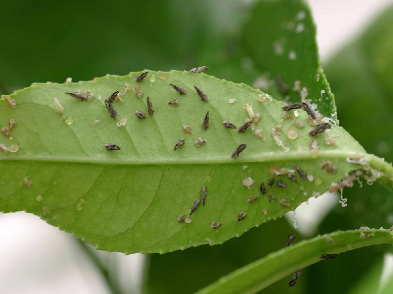 Malta crop pest (Image Credit - Google)