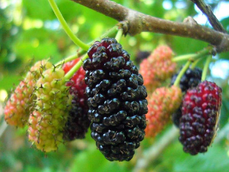 Mulberry (Image Credit - Google)