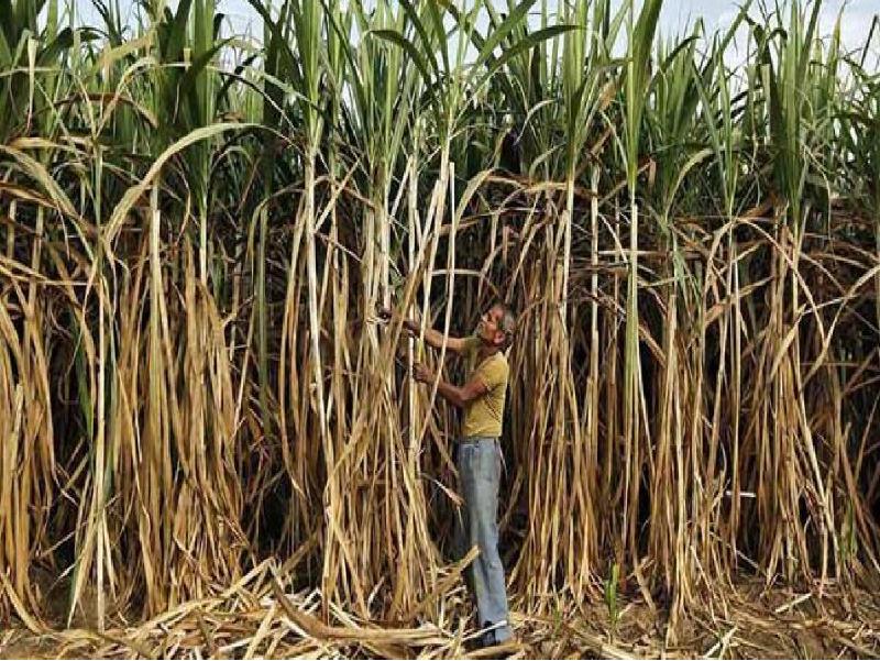 Sugarcane (Image Credit - Google)