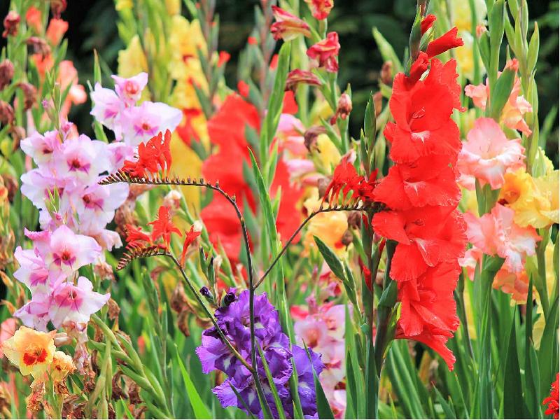 Gladiolus Flower (Image Credit - Google)