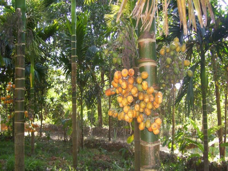 Areca nut plant (Image Credit -Google)