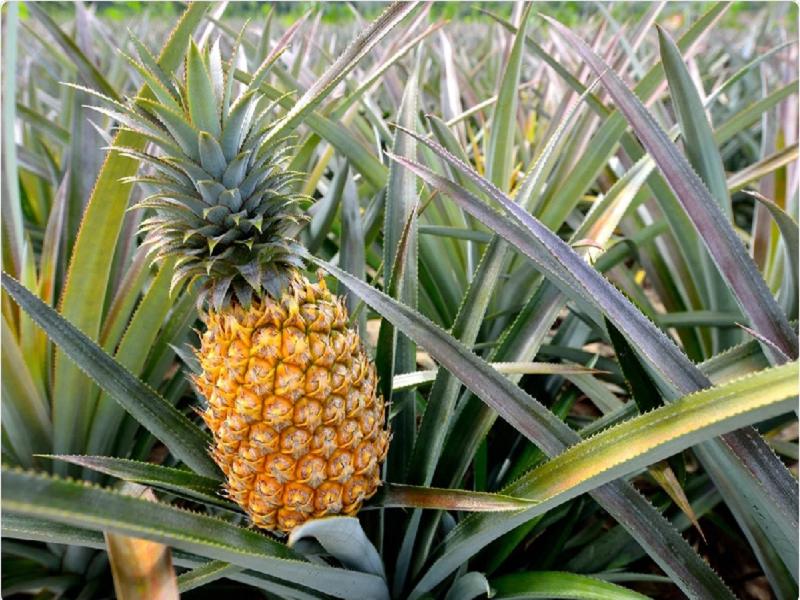 Pineapple (Image Credit - - Google)