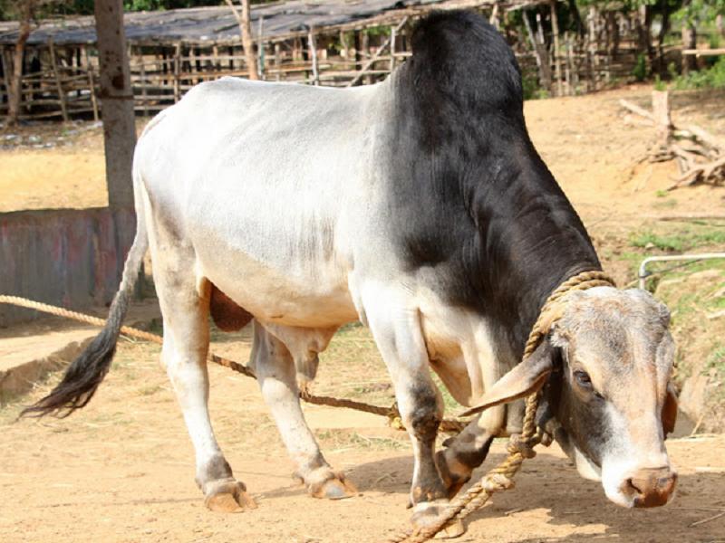 Tharparkar Cow (Image Credit - Google)