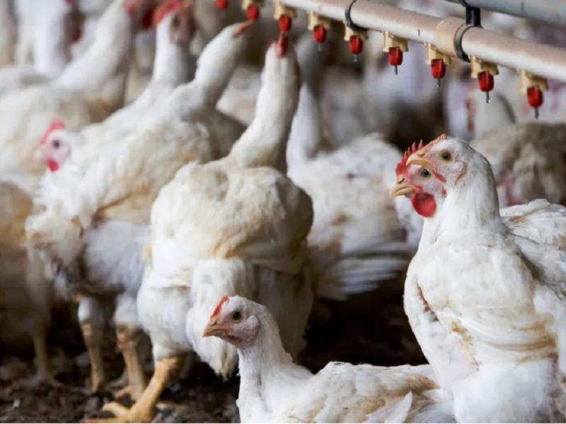 Poultry Farm (Image Credit -Google)