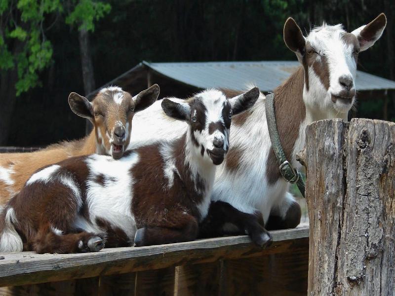 Goat rearing (Image Credit - Google)