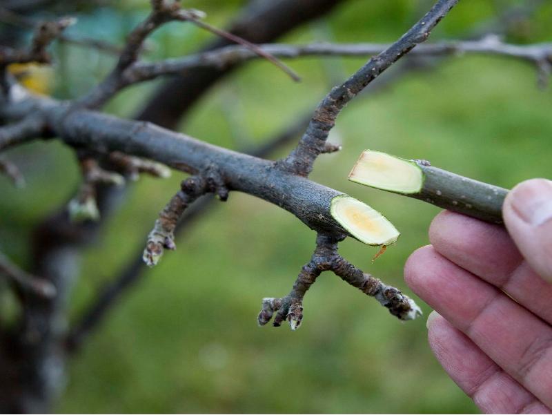 Grafting method in fruit tree (Image Credit - Google)