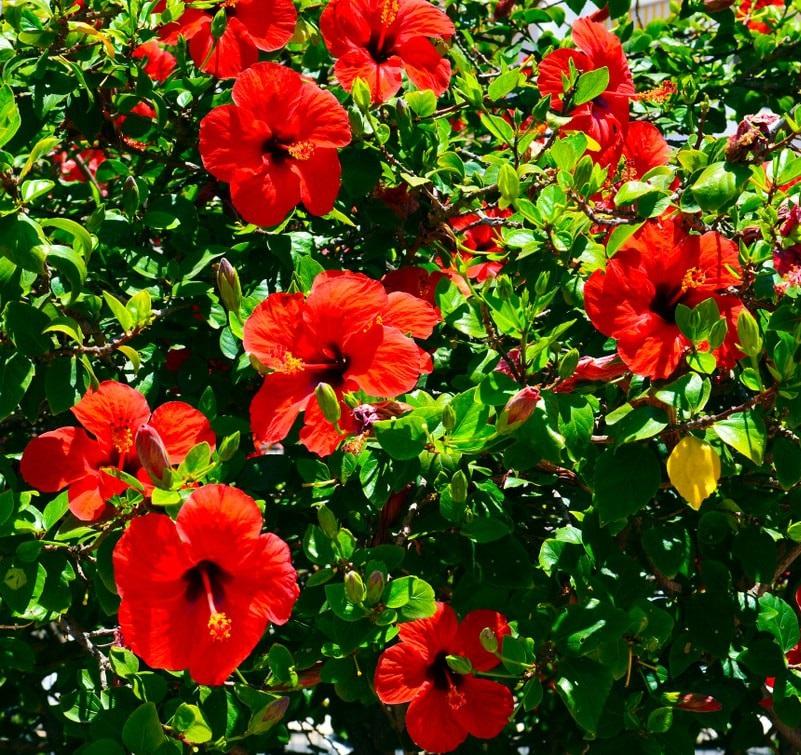 Hibiscus flower (Image Credit - Google)