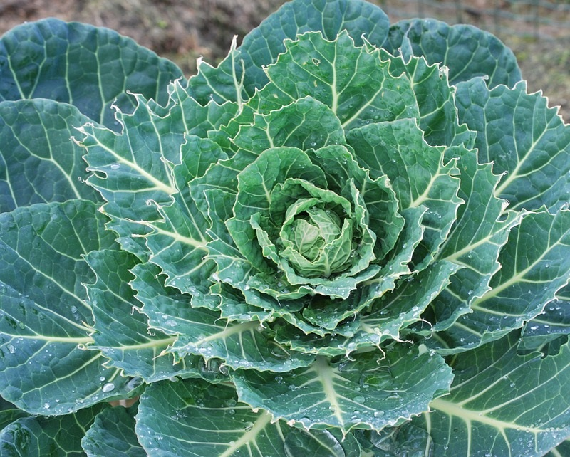 Brussels sprout (Image Credit - Google)
