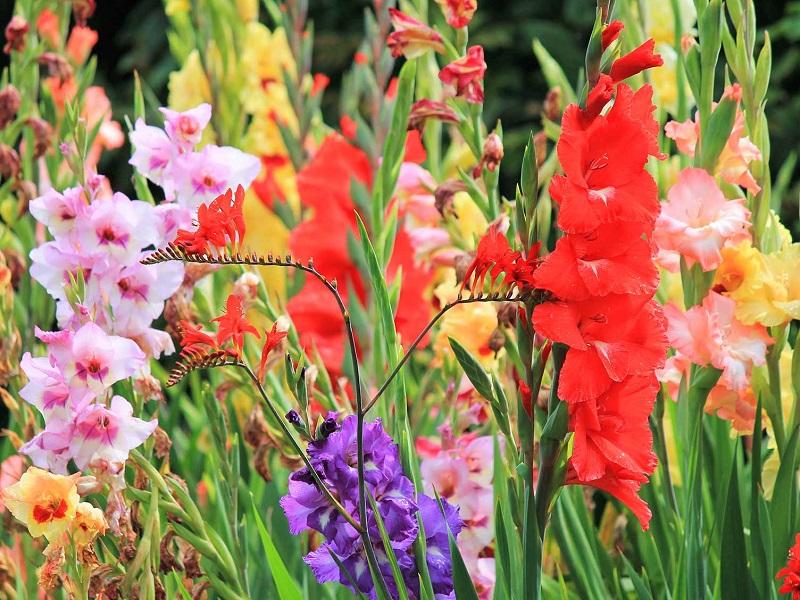 Gladiolus (Image Credit - Google)