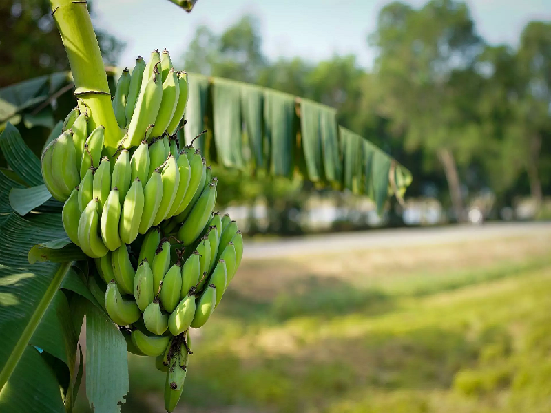 Banana Production Technology Mobile App (Image Credit - Google)